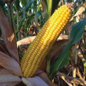 [:ru]Семена кукурузы MAS 39.Т[:ua]Насіння кукурудзи MAS 39.Т [:]