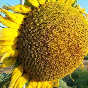 [:ru]Семена подсолнечника MAS 80.IR[:ua]Насіння соняшника Mas 80.IR [:]