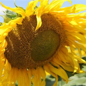 [:ru]Семена подсолнечника MAS 81.C[:ua]Насіння соняшника MAS 81.C[:]