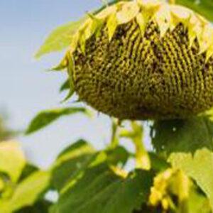 [:ru]Семена подсолнечника MAS 82.A[:ua]Насіння соняшника Mas 82.A [:]