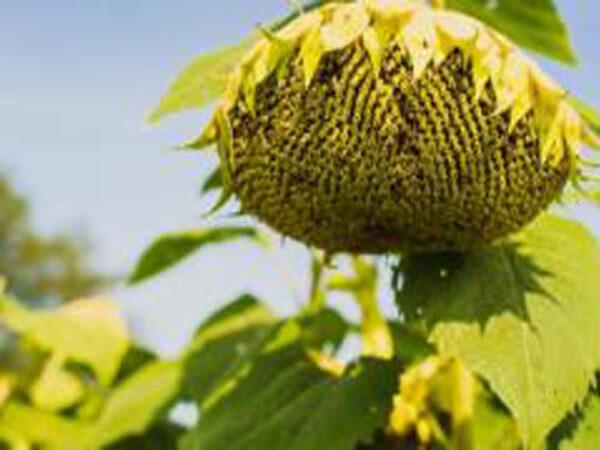 Семена подсолнечника MAS 82.A