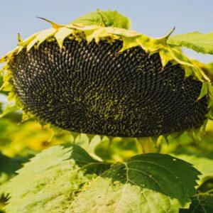 Семена подсолнечника MAS 89.М