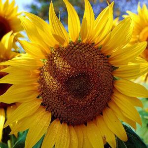 [:ru]Семена подсолнечника MAS 90.F[:ua]Насіння соняшника MAS 90.F [:]
