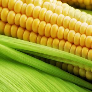 [:ru]Семена кукурузы МТ Матадо [:ua]Насіння кукурудзи МТ Матадо [:]