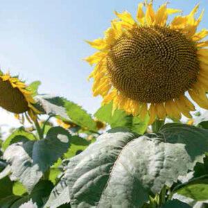 [:ru]Семена подсолнечника МГ305КП[:ua]Насіння соняшника МГ305КП [:]