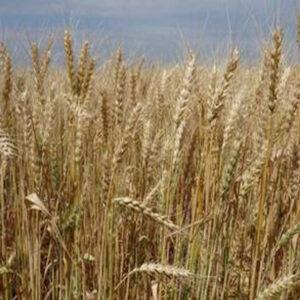 [:ru]Семена озимой пшеницы Мирлена[:ua]Насіння озимої пшениці  Мирлєна[:]