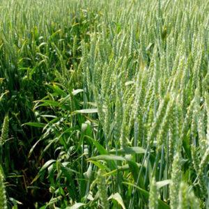 Семена озимой пшеницы Мироновская 65