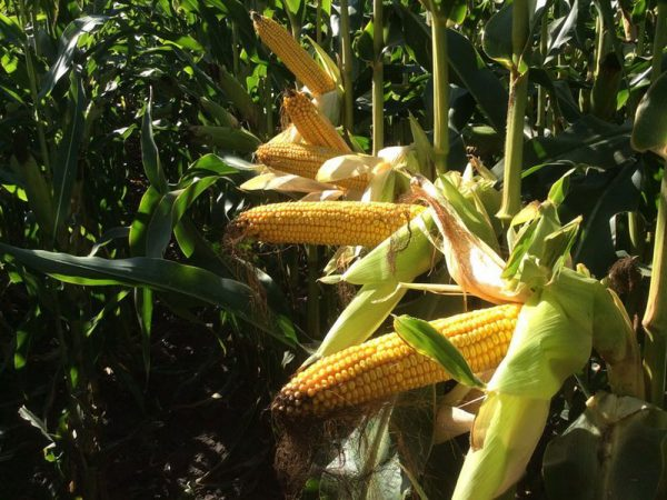 Семена кукурузы МТ261