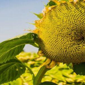 [:ru]Семена подсолнечника ЕС Нирвана[:ua]Насіння соняшника ЕС Нірвана [:]