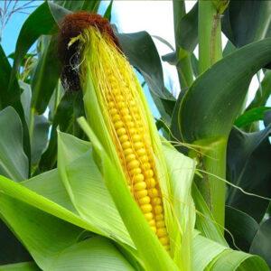 [:ru]Семена кукурузы НС-2060 [:ua]Насіння кукурудзи НС-2060 [:]