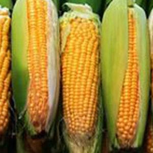 [:ru]Семена кукурузы НС 2612 [:ua]Насіння кукурудзи НС 2612 [:]