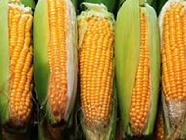 Семена кукурузы НС 2612