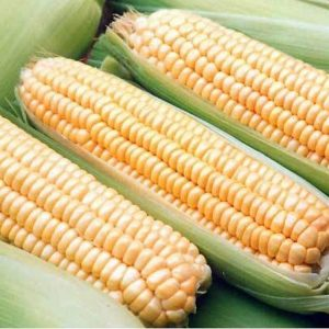[:ru]Семена кукурузы НС 3033 [:ua]Насіння кукурудзи НС 3033 [:]