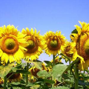 [:ru]Семена подсолнечника НСХ 26752 [:ua]Насіння соняшника НСХ 26752 [:]