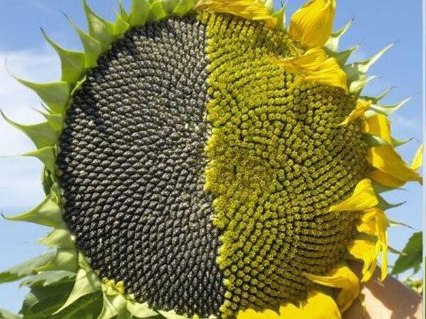 Семена подсолнечника НСХ 6342