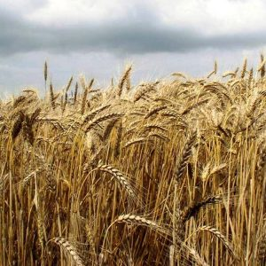 Семена озимой пшеницы Оберег Мироновский
