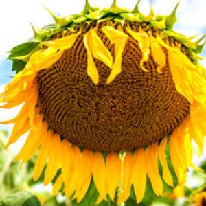 Семена подсолнечника ПСФ4639