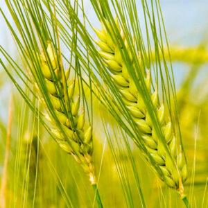 Семена озимой пшеницы Почаевка