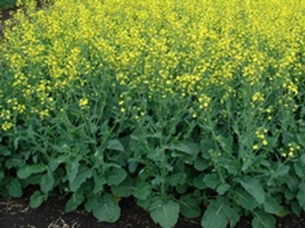 Семена рапса PR46H75