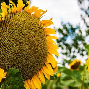 Семена подсолнечника Рекольд