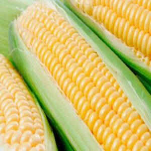 [:ru]Семена кукурузы Сеиди[:ua]Насіння кукурудзи Сеіді[:]