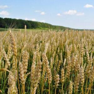 Семена озимой пшеницы Славна