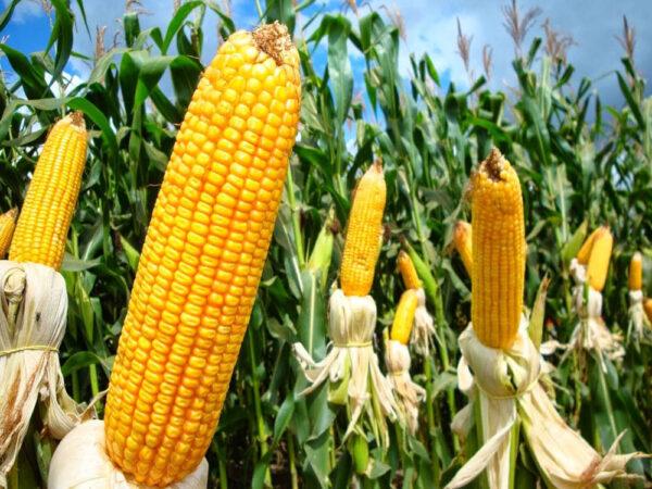 Семена кукурузы Сурреал