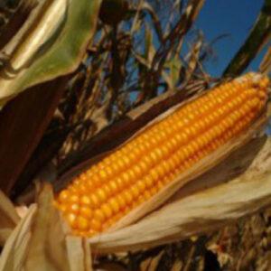 [:ru]Семена кукурузы Сурвивор[:ua]Насіння кукурудзи Сурвівор[:]