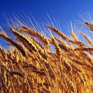 Семена озимой пшеницы Свитанок Мироновский