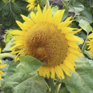 Семена подсолнечника Торино