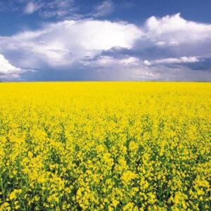 [:ru]Семена рапса Траст КЛ[:ua]Насіння ріпака Траст КЛ[:]