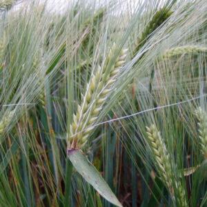 Семена озимого ячменя Тутанхамон