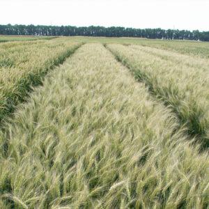 [:ru]Семена озимой пшеницы Ювивата 60 [:ua]Насіння озимої пшениці  Ювівата 60 [:]