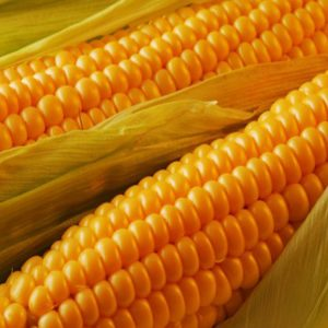 Семена кукурузы Вензель