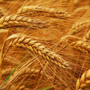 [:ru]Семена озимой пшеницы Волошкова[:ua]Насіння озимої пшениці Волошкова [:]