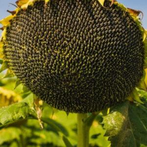 Семена подсолнечника X4219