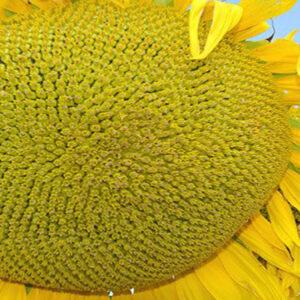[:ru]Семена подсолнечника X4334[:ua]Насіння соняшника X4334[:]