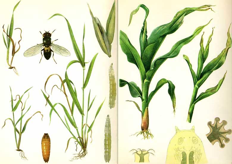Шведские мухи (овсяная шведская муха, ячменная шведская муха)