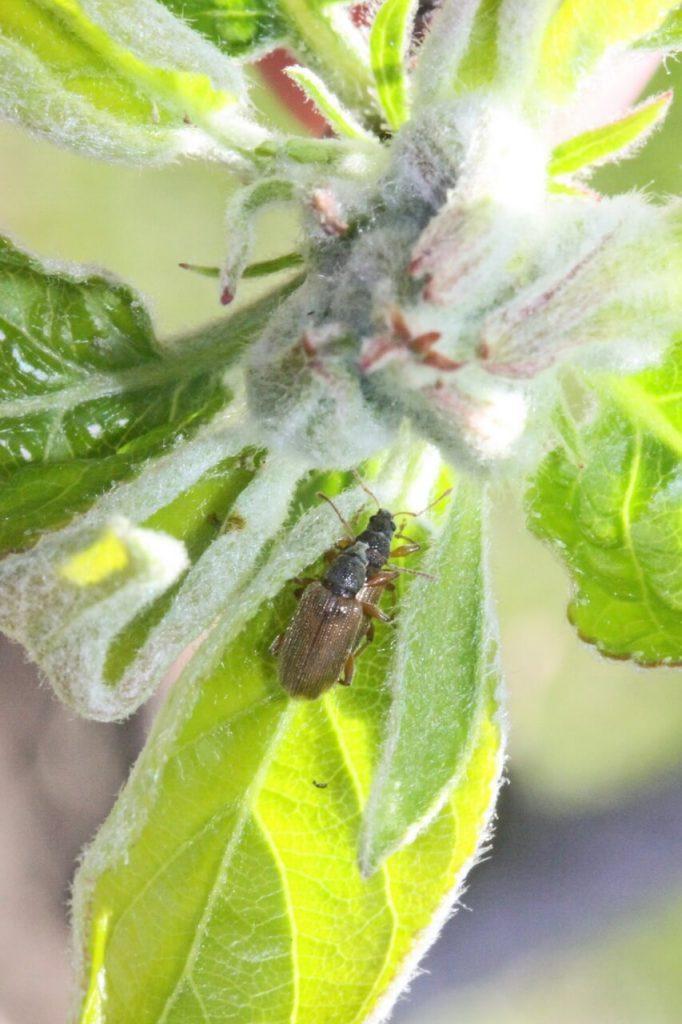 Долгоносик продолговатый листовой