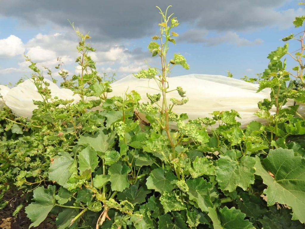 Виноградная филлоксера