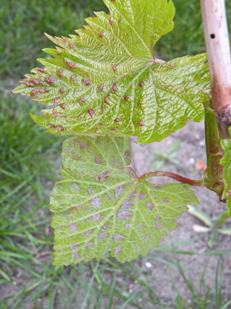 Виноградный войлочный клещ