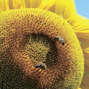 [:ru]Семена подсолнечника ИН 5543[:ua]Насіння соняшника ІН 5543 ІМІ [:]