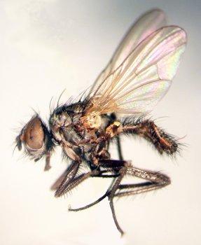 Летняя капустная муха, малая капустная муха