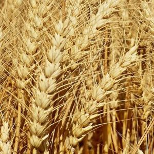 Семена озимой пшеницы Аквилон