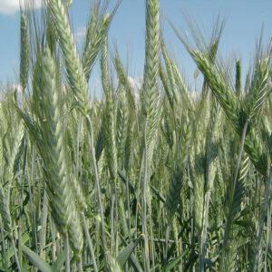 Семена озимого тритикале Амур
