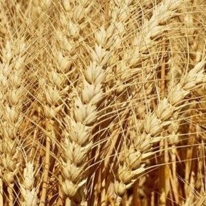 Семена озимой пшеницы Дагмар