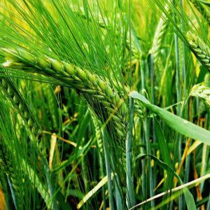 [:ru]Семена ярого ячменя Гладис[:ua]Насіння ярого ячменю Гладіс[:]