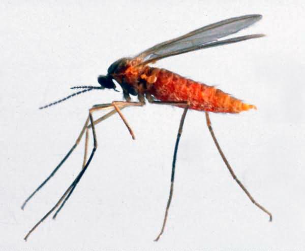Гороховый комарик, гороховая галлица