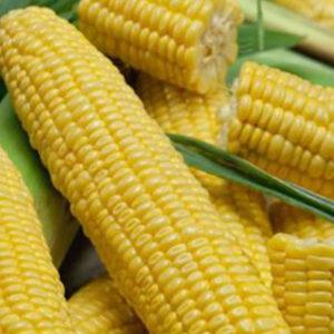 [:ru]Семена кукурузы ІСХ 303[:ua]Насіння кукурудзи ІСХ 303 [:]