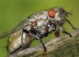 Весенняя капустная муха, малая капустная муха
